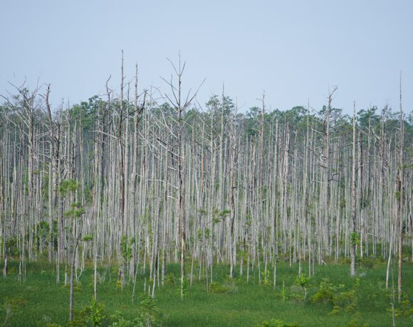 Saltwater intrusion has killed these trees.