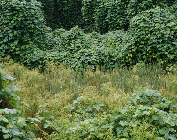 The invasive species kudzu is threatening to overwhelm this wetland